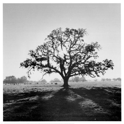 ansel-adams-oak-tree-sunrise