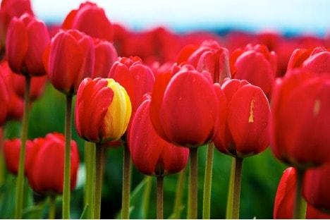 Lampada Fiore Tulipano : Come fotografare i tulipani o altri fiori fotografare in digitale