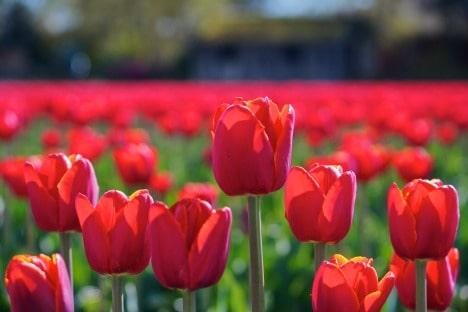 tulipano 3