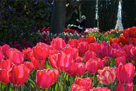 tulipano 4