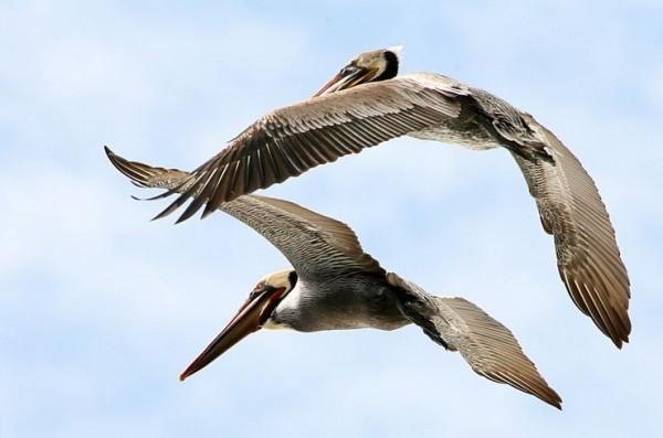 fotografare gli uccelli - Copyright Mike Baird (https://goo.gl/aCKdoq)