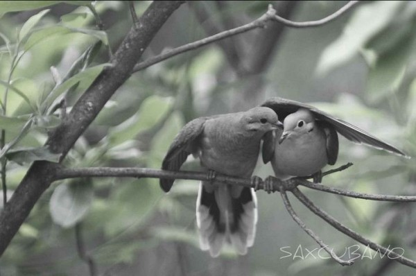 fotografare gli uccelli - Copyright saxcubano (https://goo.gl/VGbe8C)
