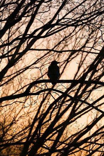 fotografare gli uccelli - Copyright Tambako The Jaguar (https://goo.gl/fNqnge)