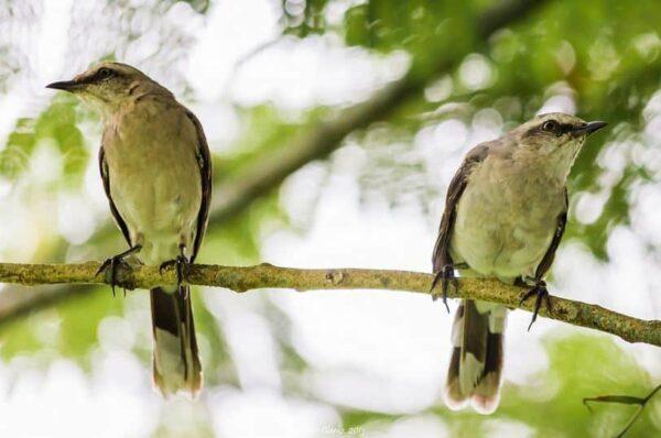 fotografare gli uccelli - Copyright Kester Clarke (https://goo.gl/PYJyiJ)
