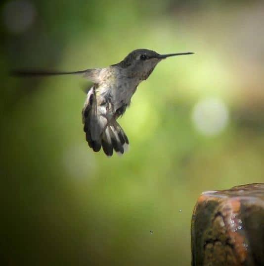 fotografare gli uccelli - Copyright Jack Wolf  (https://goo.gl/4RSQOA)