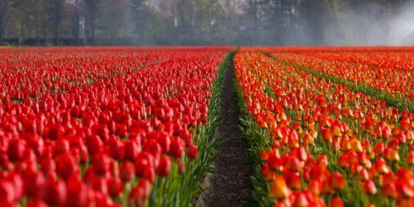 Come fotografare i tulipani