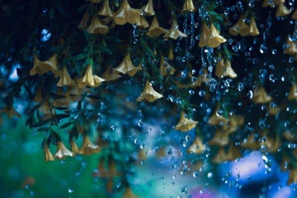 rain, flowers, bloom