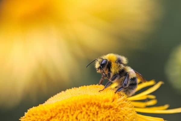 honeybee perching on yellow flower
