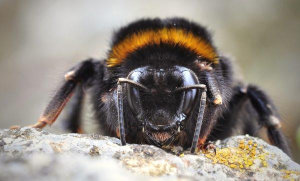 Insect humfotografie di apimel fictional close up